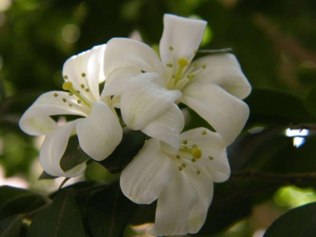 ต้นแก้วกลิ่นหอม ปลูกแล้วจะทำให้คนในบ้านมีความดี จิตใจบริสุทธิ์