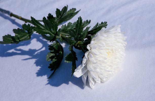 ดอกเบญจมาศสีขาว ดอกไม้ที่เป็นสัญลักษณ์แสดงความอาลัย